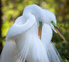 Great Egrets (Mating Plumage and Colors)