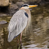 Great Blue Heron (Mating Plumage)