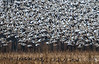 Snow Geese Launching