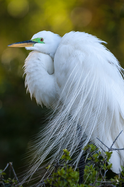 Great Egret with Mating Plumage