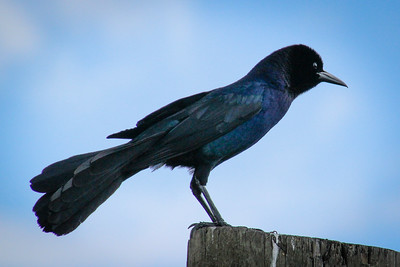 Boat Tail Grackle