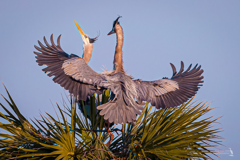 Great Blue Heron Mating Dance