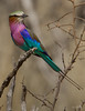 Lilac-brested Roller