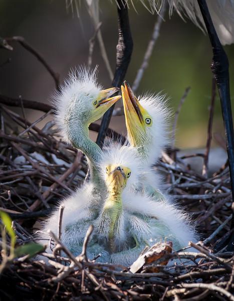 Little Egret Chicks