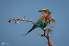 Lilac-breasted roller Camel Thorn tree