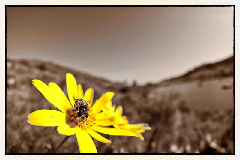 This is called Catalina Coreopsis. The flowers consume the island. This was taken in the foreground of the previous picture with a Fisheye lens. First time I have gotten a bee on a flower!