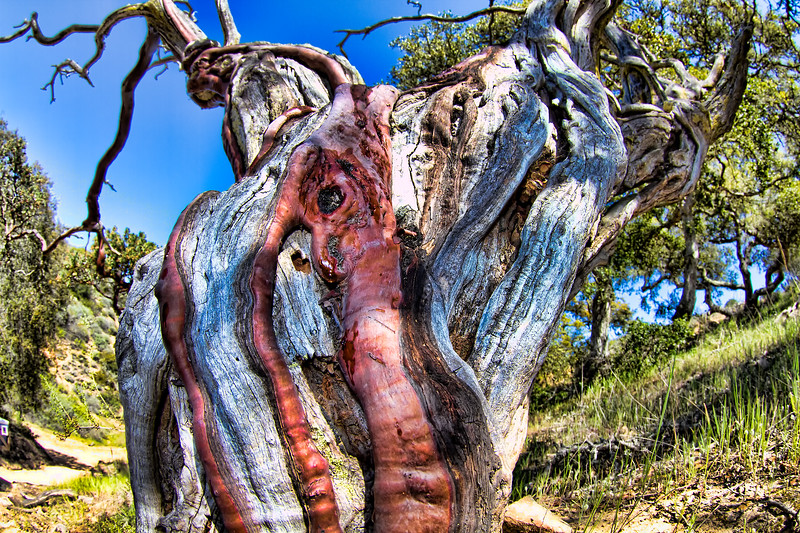This is called Catalina Manzanita. Simply put, it's a dead tree that has resurrected itself (the red part) and grew back over the dead part of the tree. Kind of eery. I took the next picture of the entire tree and the surroundings in B&W. It supports the eery feeling.