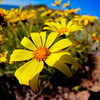 Another Catalina Coreopsis.