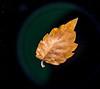 Dry leaf in air. March 2013