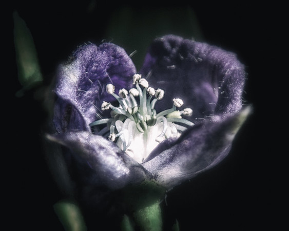 Monkshood, from the Witch's Garden. A tidy little poison and essential ingredient for a witch's flying potion.