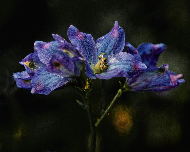 Delphiniums blooming in The Witch's Garden, May 27