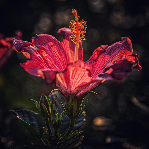 HIbiscus in the Witch's Garden, July 4