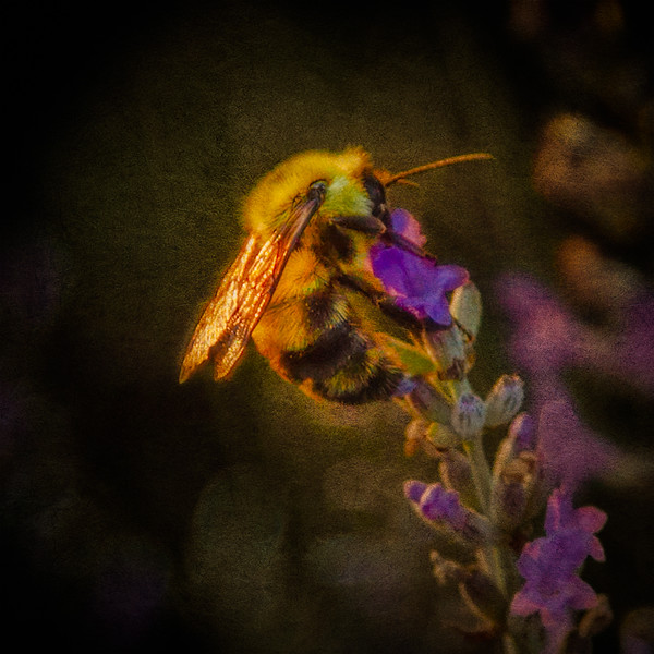 Bee on English Lavender in Bloom, The Witch's Garden, July 2, 2013, Carmi, Illinois
