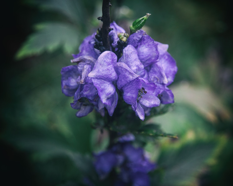Monkshood, from the Witch's Garden. October 31