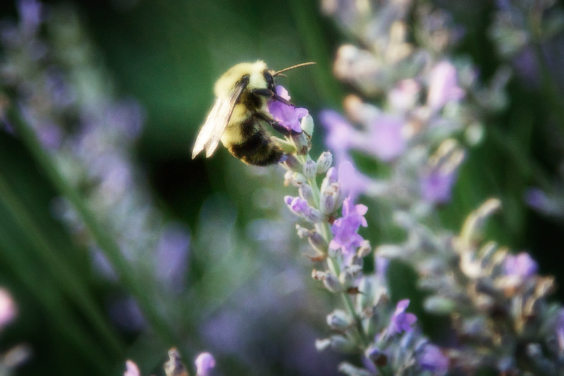 Bumblebee and English Lavender, The Witch's Garden, July 2, 2013, Carmi, Illinois