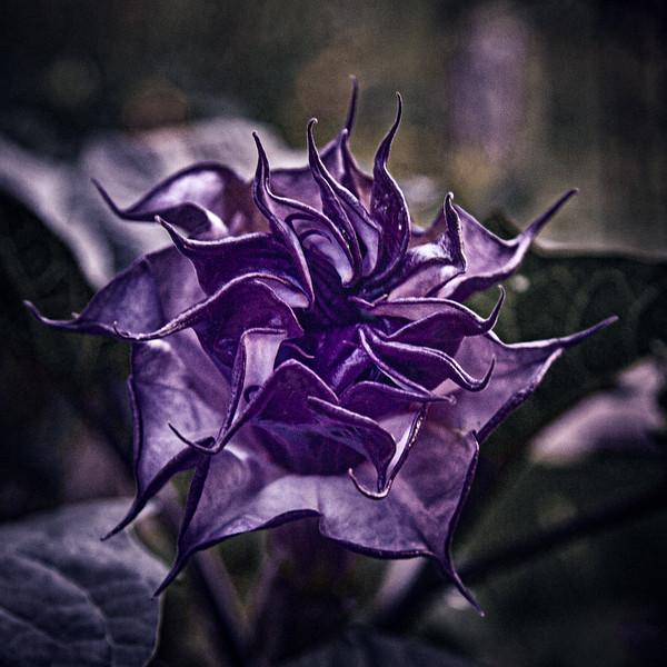 Purple People Eater Brugmansia blooming in the Moon Garden, August 8, 2020