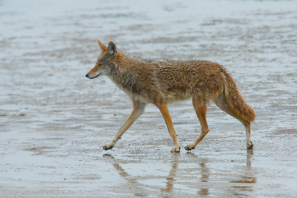 Coyote on the Great Salt Lake
