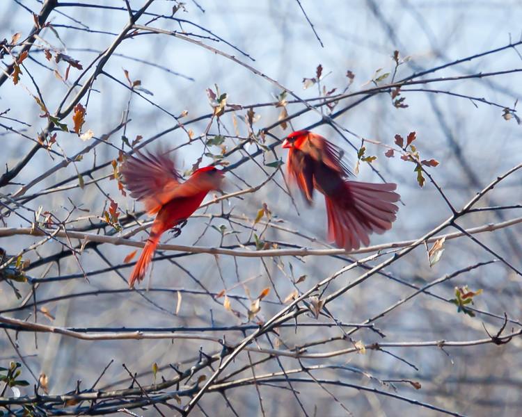 Real Angry Birds, Holla Bend NWR, Arkansas