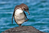 Galapagos Penguin balancing on one foot ~ Elizabeth Bay