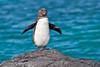 Galapagos Penguin in Elizabeth Bay