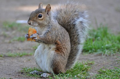 Hungry squirrel, Flushing NY