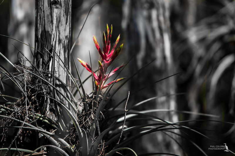 Bromeliad (epiphyte) - Cyprus Swamp