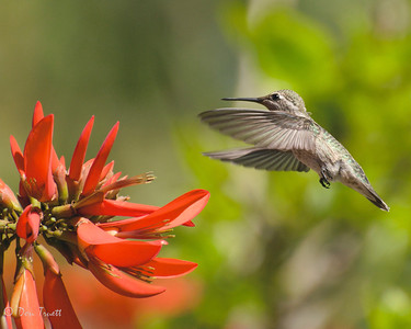 Hummingbird 33