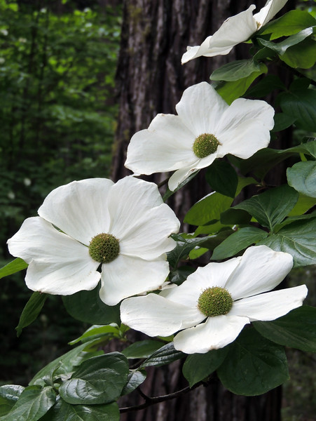 Dogwood | Yosemite National Park
