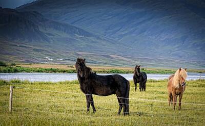 Icelandic Horse-2