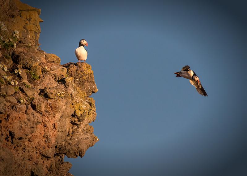Puffins Westfjords, Iceland