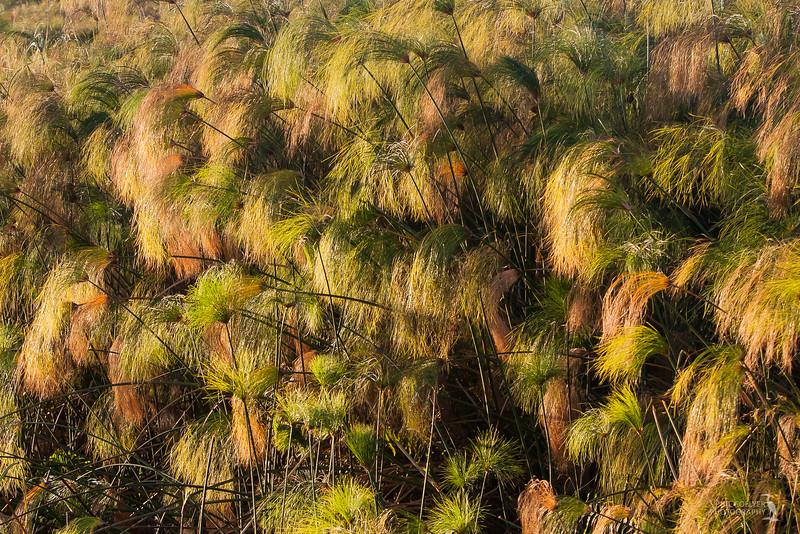 Papyrus fronds