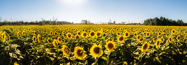 "From the ""Prayers From Maria Sunflower Field"""