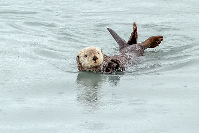 Sea Otter - Valdez