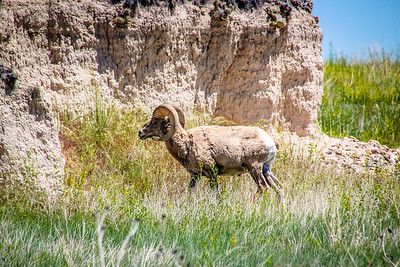 Bighorn Sheep - Badlands Naitonal Park