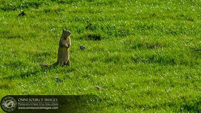 Mission Peak Ground Squirrel