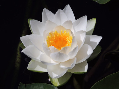 White Water Lily | Seattle
