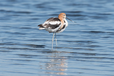 American Avocet - Baylands Nature Preserve, California 2017