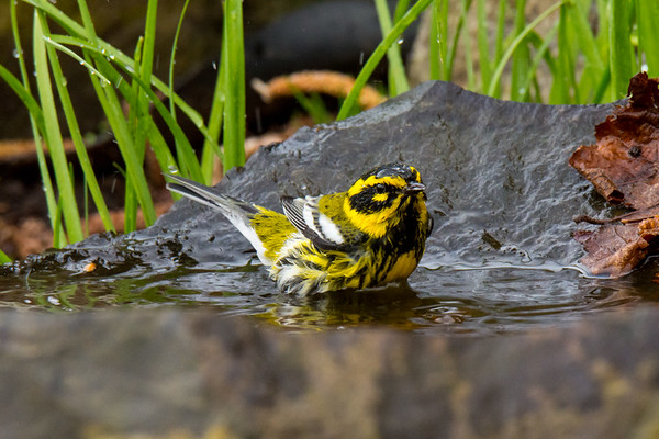 Townsend Warbler, Willamette University 2016