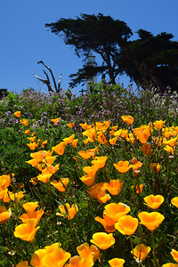 Orange Poppies | Pigeon Point State Park