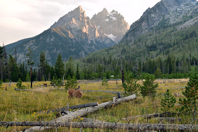 Grazing Deer | Grand Teton National Park