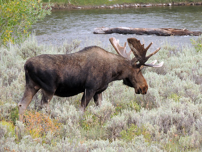 Grazing Moose | Grand Tetons National Park