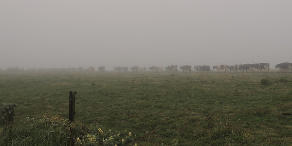 Foggy Herd | Point Reyes National Seashore