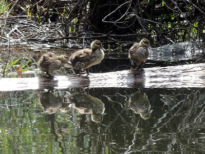 Ducklings | Yosemite National Park
