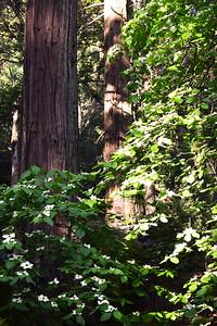 Dogwood Forest | Yosemite National Park