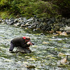 "So many in the stream, that Dan Evans, <a href=""http://www.alaskadanevans.com/dev/"">http://www.alaskadanevans.com/dev/</a>, our local guide and now friend, got in with the salmon."