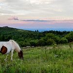 Wild Pony | Grayson Highlands State Park, Virginia