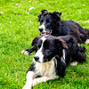 Leault Farm's Working Sheepdogs