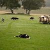 Leault Farm's Working Sheepdogs