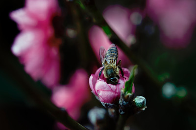 Chinese Bee is the New Pink