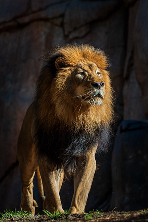 King of His Pride